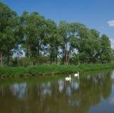 Uma lagoa com cisnes imagem de stock royalty free
