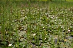 Uma lagoa com flores brancas e juncos Imagem de Stock