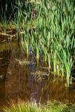 Uma lagoa com grama Imagens de Stock Royalty Free