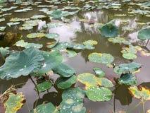 Uma lagoa com lotes dos lótus Fotos de Stock