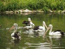 Uma lagoa com pelicanos Fotografia de Stock Royalty Free