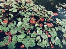 uma lagoa completamente de lírios de água foto de stock