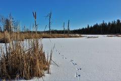 Uma lagoa congelada com as trilhas animais cercadas por salgueiros e pela floresta desencapada em Nova Scotia rural Fotografia de Stock Royalty Free