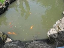 Uma lagoa de peixes bonita no parque do cintur?o verde de Makati, cidade de Makati fotografia de stock