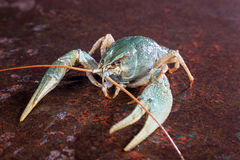Uma lagosta viva Imagem de Stock Royalty Free