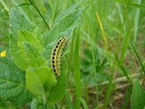 Uma larva verde pequena da borboleta Fotos de Stock