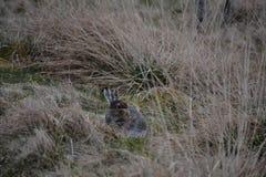 Uma lebre nova da montanha Foto de Stock Royalty Free