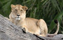 Uma leoa da árvore Foto de Stock Royalty Free