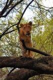 Uma leoa em uma árvore no parque do lago, Tanzânia Imagens de Stock Royalty Free
