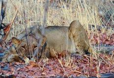 Uma leoa fêmea que mantém a arte ao descansar no arbusto foto de stock royalty free