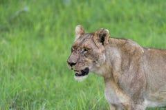 Uma leoa na manhã (2) Foto de Stock Royalty Free