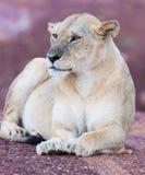 A família do leão imagens de stock