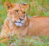 A família do leão imagens de stock royalty free