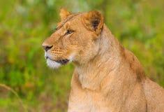 A família do leão foto de stock royalty free