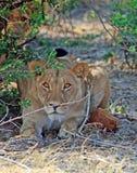 Uma leoa olha fixamente diretamente adiante com a outra no mato fotografia de stock