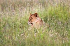 Uma leoa que descansa na grama do tha no Masai mara Fotografia de Stock