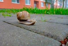 Uma lesma com um shell Fotografia de Stock