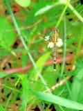 Uma libélula Imagens de Stock Royalty Free