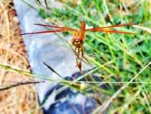 Uma libélula Fotos de Stock