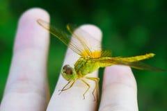 Uma libélula amarela bonita disponível fotos de stock