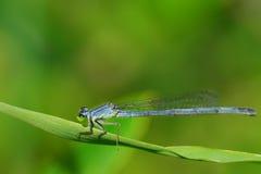 Uma libélula azul Fotos de Stock