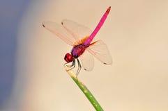 Uma libélula cor-de-rosa Fotos de Stock Royalty Free