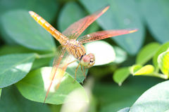 Uma libélula da espumadeira Foto de Stock Royalty Free