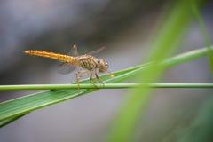 Uma libélula da espumadeira (sp de Sympetrum.) Foto de Stock