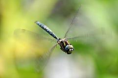 Uma libélula do voo imagens de stock