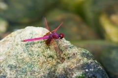 Uma libélula dropwing carmesim masculina Imagem de Stock Royalty Free