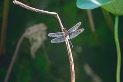 Uma libélula e uma luz do sol do verão, uma manhã bonita imagem de stock