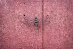 Uma libélula em fundos marrons vermelhos da parede imagem de stock