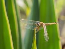 Uma libélula em um jardim Imagens de Stock