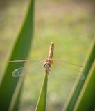 Uma libélula em um jardim Fotos de Stock Royalty Free