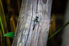 Uma libélula na madeira no parque nacional de Kemeru, Letónia fotos de stock