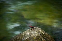 Uma libélula na mola, em Cao Bang, Vietname fotografia de stock royalty free