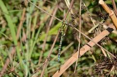 Uma libélula pendura da haste de uma planta fotos de stock