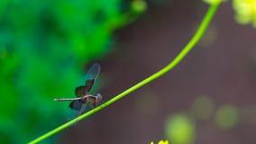 Uma libélula preta na haste do ` s do frower Fotos de Stock Royalty Free