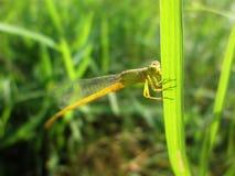 Uma libélula que senta-se na folha da grama imagem de stock