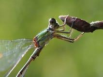 Uma libélula verde adere-se a uma flor em botão fotografia de stock