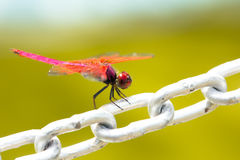 Uma libélula vermelha Fotografia de Stock