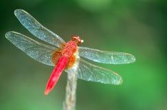 Uma libélula Imagens de Stock
