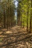 Uma linha de árvores que criam um trajeto profundamente na floresta fotografia de stock royalty free