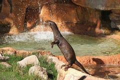 Uma lontra curiosa Foto de Stock