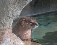Uma lontra que medita a vida na água foto de stock royalty free