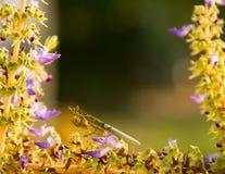 Uma louva-a-deus na manjericão santamente da flor Foto de Stock