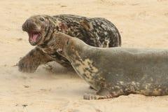 Uma luta estoira quando um grande grypus de Grey Seal Halichoerus do touro obtém demasiado próximo a uma fêmea com seu filhote de Imagem de Stock