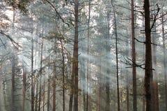 Uma luz do sol da manhã em uma floresta do pinho Foto de Stock