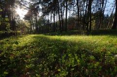 Uma luz do sol na floresta selvagem verde Imagens de Stock