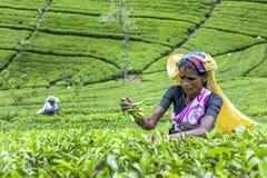 Uma máquina desbastadora do chá no trabalho perto do pico de Adams em Sri Lanka Foto de Stock